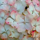 Red And White Hydrangeas by kahoutek24