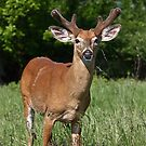 Velvety Buck by Jim Cumming