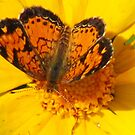 Butterfly On Yellow by lorilee