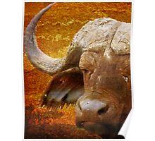 Sunset Cape Buffalo Poster