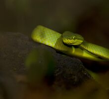 Bamboo Pit Viper by OmkarSankpal