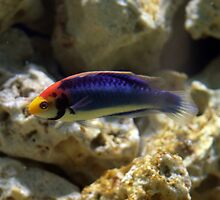 Rainbow Wrasse by Paul Dean