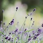 Lavender From Summers Past by Olive Ndungutse