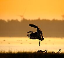 Great Blue Heron in early morning by THHoang
