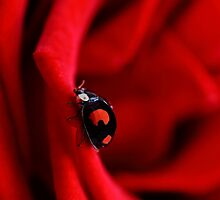 Black ladybug in red rose by PhotoTamara