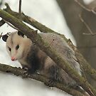 Curious Oppossum by Rosanne Jordan