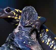 fire salamander by Mauro Rodrigues