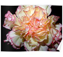 Sweet Carnation Poster
