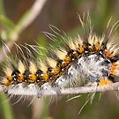 Lappet moth caterpillar by Mauro Rodrigues