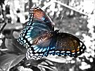 Red Spotted Purple Butterfly by lindsycarranza