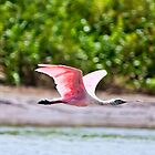 Pink Heron in flight no1 by Sylvain Dumas