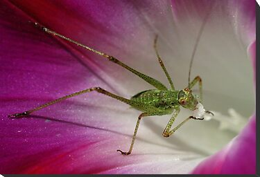 Tiny Grasshopper on Mornig Glory by marens