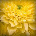 Chrysanthemum Flower by Ian Barber