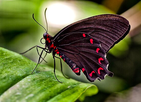 Velvet Rose Swallowtail  by Bekah Reist