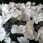 White hydrangea by Julie Van Tosh Photography