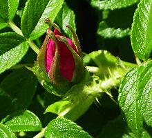 Pretty Rosebud by MaryinMaine