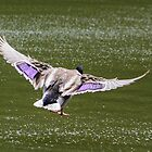Mallard in Flight by Mark Fendrick
