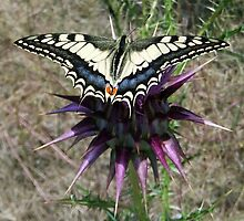 Swallowtail by Eric Kempson