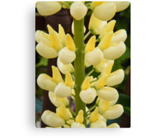 Lovely Lemon Lupin Canvas Print