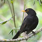 Blackbird by lynn carter