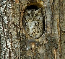 Eastern Screech Owl Posing As A Plush Toy by Bill McMullen