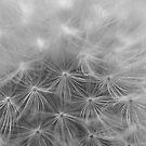 dandelion seeds by Matt Sillence