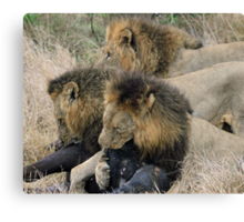 A real life live lion kill! Canvas Print