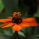 Orange Zinnia~ by virginian