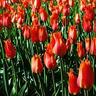 Tulips 11 by photonista