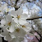 Cherry Blossoms 2 by photonista