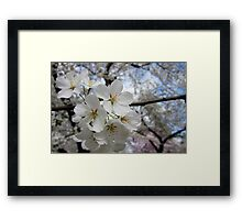 Cherry Blossoms 2 Framed Print