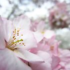Cherry Blossoms 9 by photonista