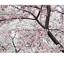 Cherry Blossoms 10 Photographic Print