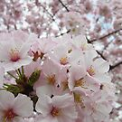 Cherry Blossoms 13 by photonista