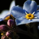 Forget-Me-Nots 2 by photonista
