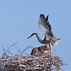 Blue Heron Chick by Jarede Schmetterer