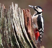 Great Spotted Woodpecker by Maria Gaellman