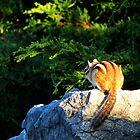 Chipmunk 1 by photonista