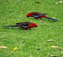 Crimson Rosella by Matthew Sims