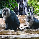 Lion-tailed Masaque by barnsis