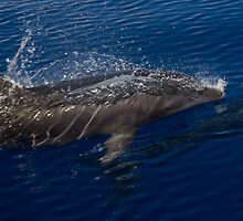 Bottlenose Dolphin Surfacing by thatche2