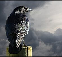 Carrion Crow by alan tunnicliffe