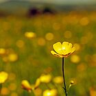 Buttercup Bokeh by David Rothwell