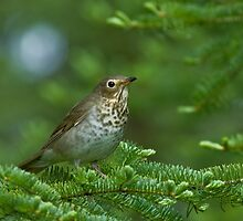 Swainson's Thrush by Wayne Wood