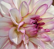 Single Dahlia by Kwon Ekstrom