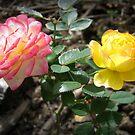 Chameleon Roses by Vanessa Barklay