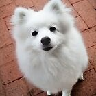 Very cute Japanese Spitz by Stanislaw