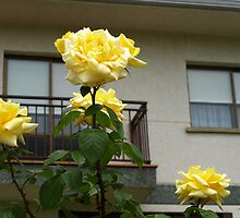 Yellow Roses and House by photoshot44
