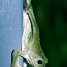 Green Tree Frog - Darwin NT by AllshotsImaging