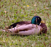 Sleeping Duck by Michelle Boyd